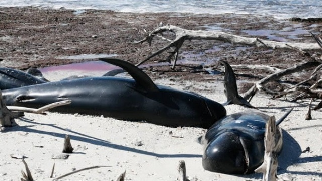 Dead pilot whales off Fla coast