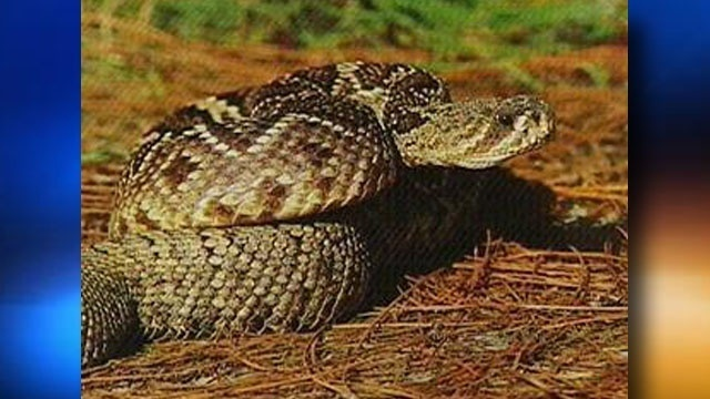 Eastern Diamondback Rattlesnake 2013