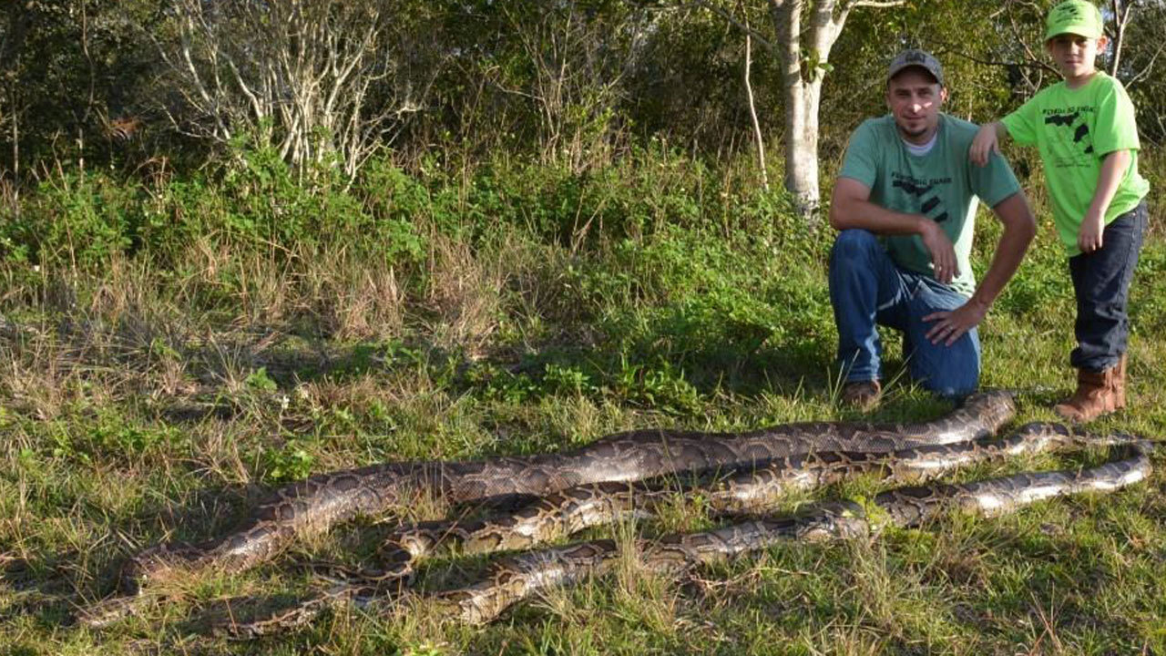 Snake hunters kill 106 pythons in florida everglades for Python consul