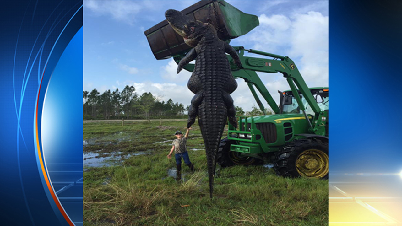 Giant Gator Killed In Hunt At Florida Farm