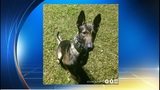 Miami Beach police searching for missing K-9 in training