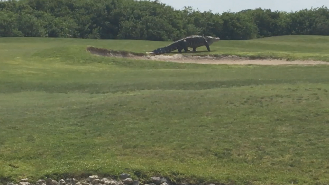 Large Gator Spotted Roaming Golf Course