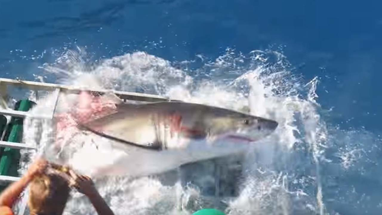 Great White Shark Breaks Through Diving Cage On Video