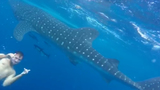 Large whale shark spotted off coast of Miami Beach