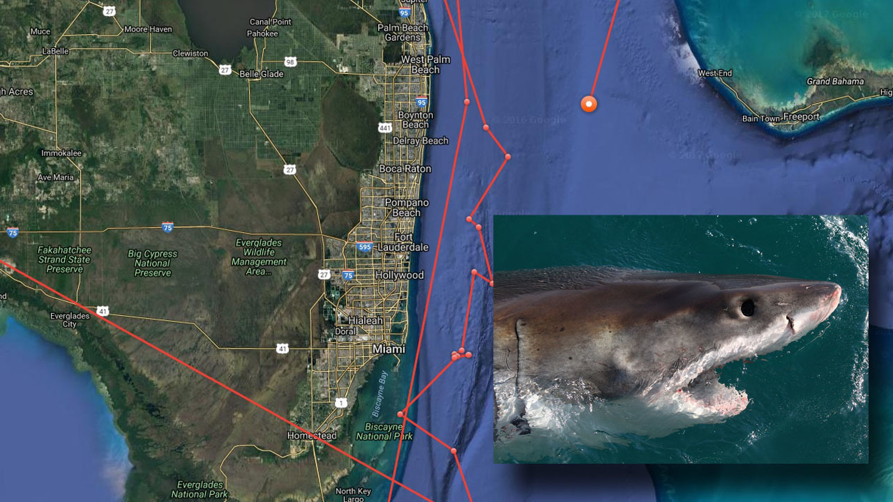 Great white shark returns to South Florida waters