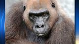 Zoo Miami announces the death of Josephine the gorilla