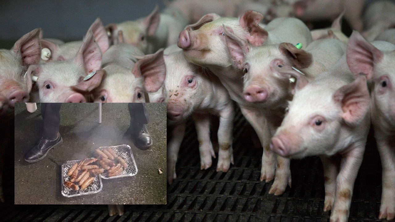 Piglets served to firefighters