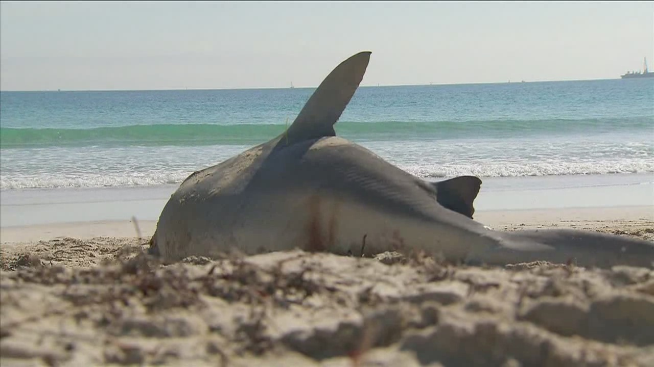 2 sharks found dead in Miami Beach