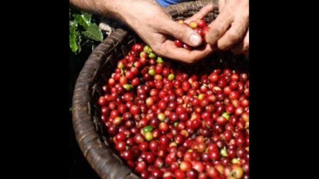 Coffee-cherry-hand-harvest.jpg_27137484