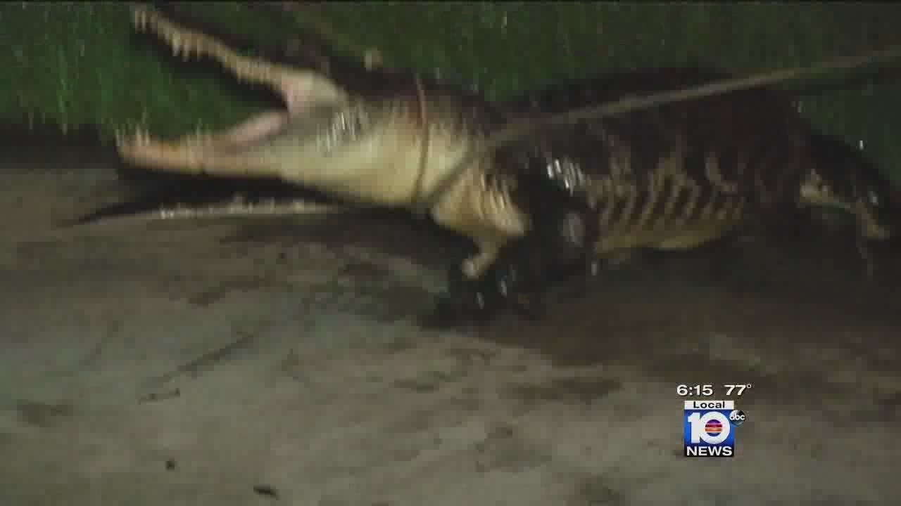 Coral Springs Couple Wakes Up To Find Alligator On Front Porch