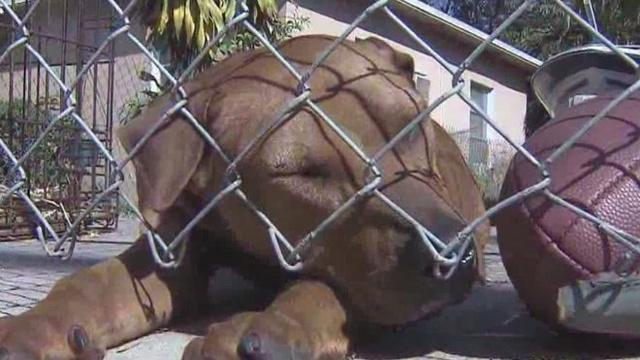 Pit bull sleeping