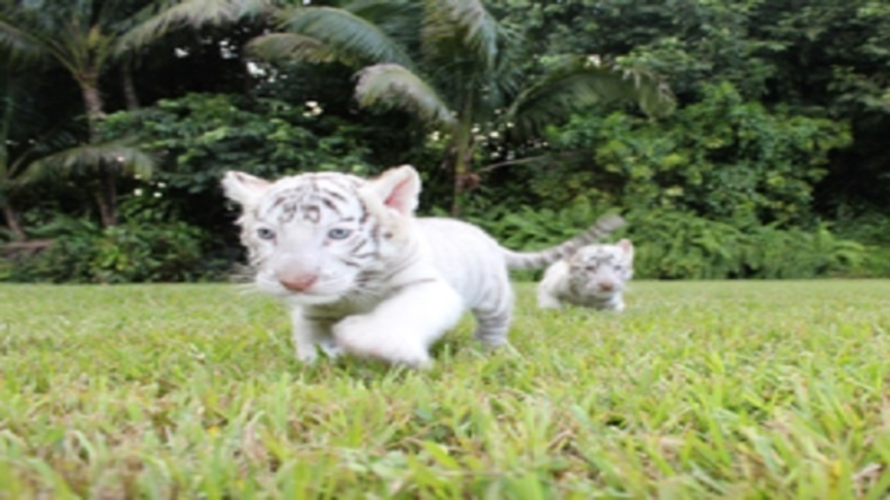 Jungle Island welcomes 2 baby white tigers