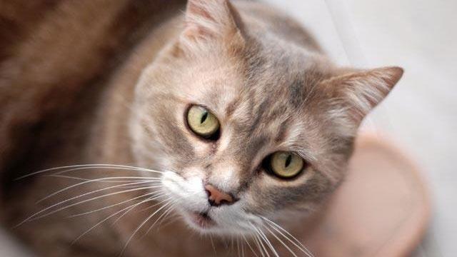 cat looking at camera_168518