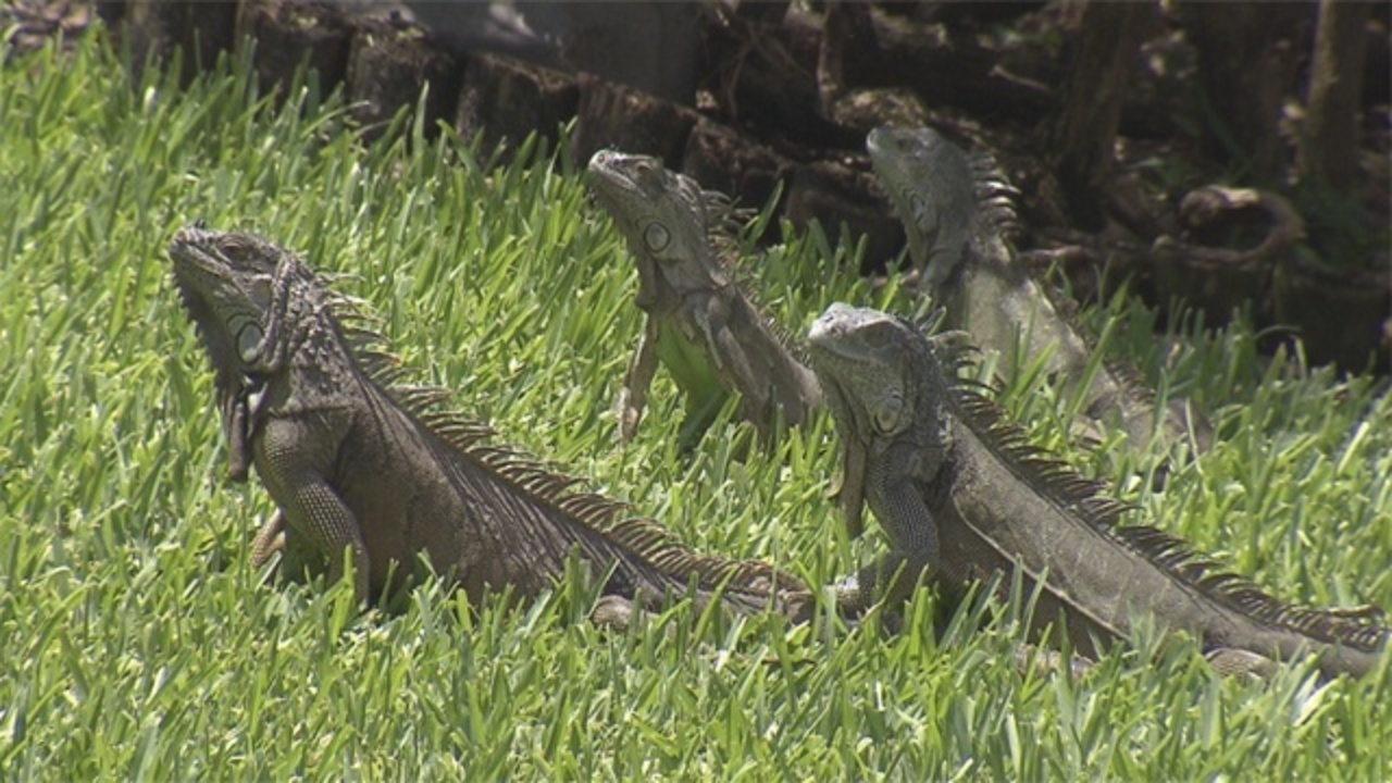 Residents In Brickell Key Upset Over Removal Of Iguanas
