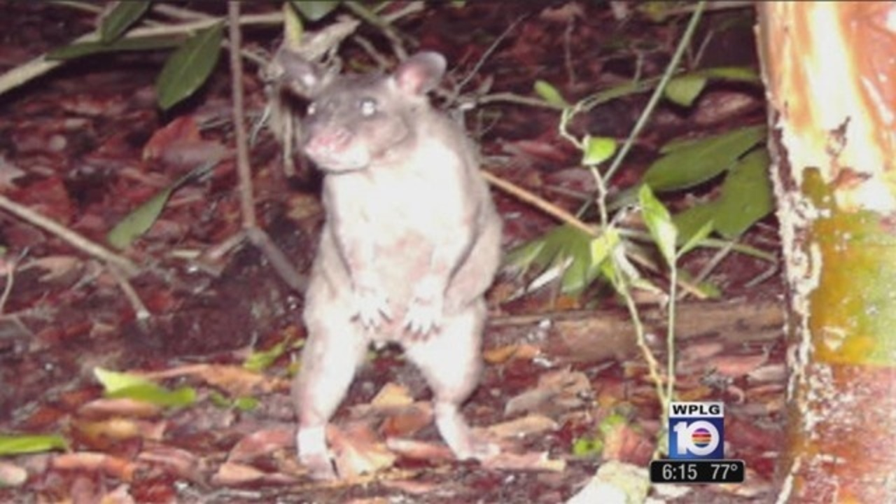 Trappers target giant rats in Keys