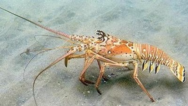 Florida's 2-day spiny lobster sport season set to begin