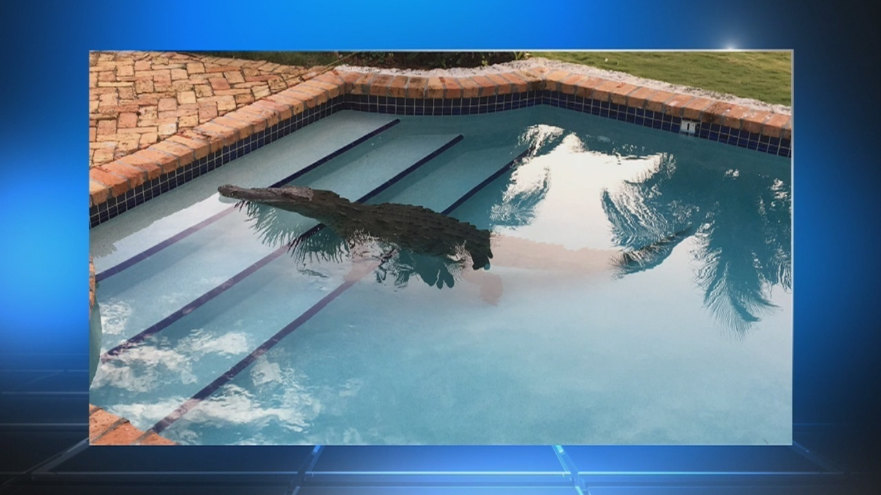 Crocodile Found In Keys Swimming Pool