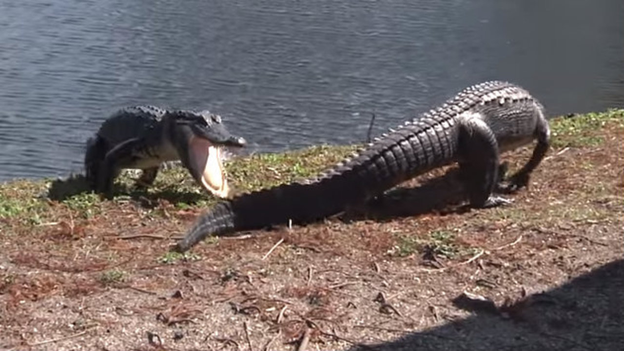 Video Shows Fight Between 2 Alligators In Clearwater