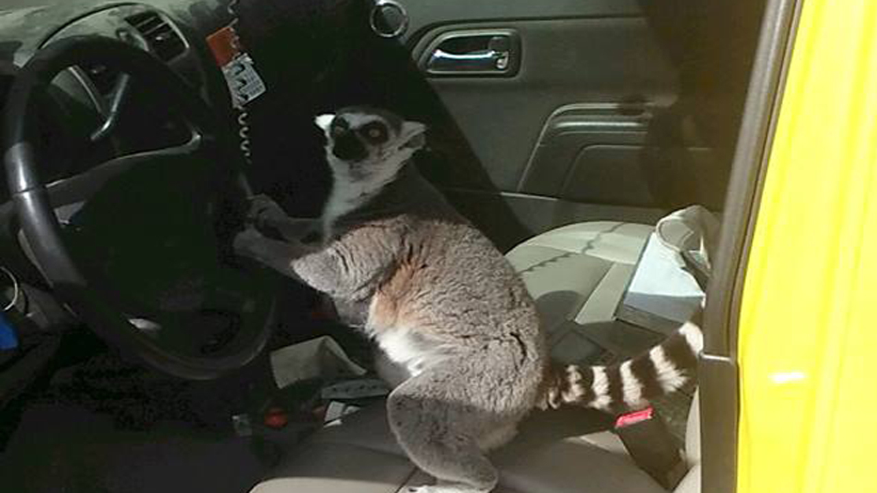 Lemur Jumps Into Driver S Seat Of Florida Meter Reader S Truck