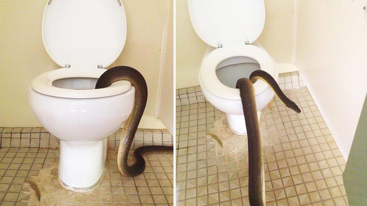 giant snake found inside australian national park toilet