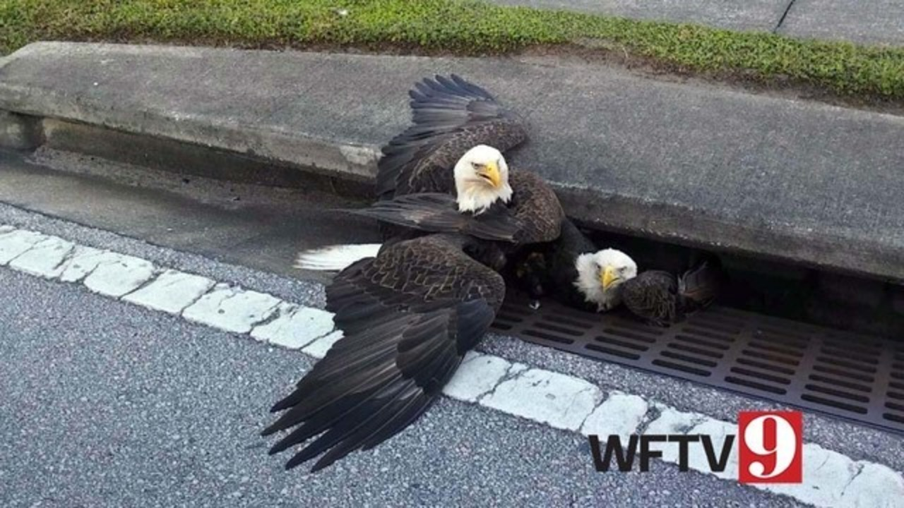 Bald Eagle Protects Another Eagle Stuck In Storm Drain