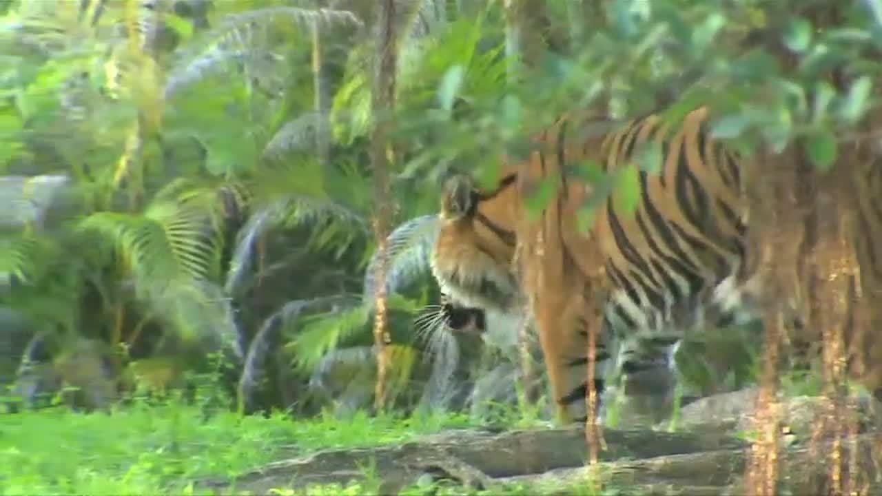tiger bites zookeeper  zoo miami