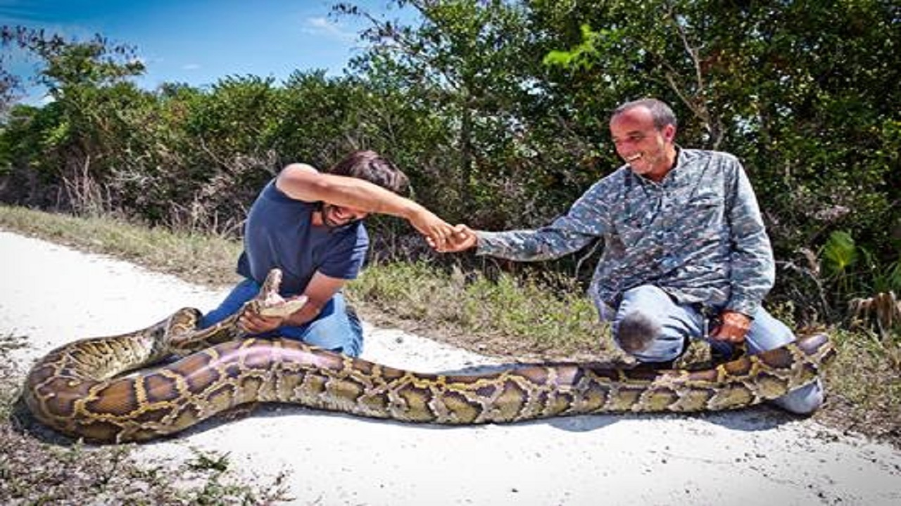 Python hunters capture 10 snakes in South Florida in 10 days