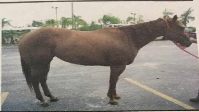 Stolen Quarter Horse Mare