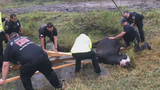 Florida firefighters, police officers rescue cow stuck in water-filled hole
