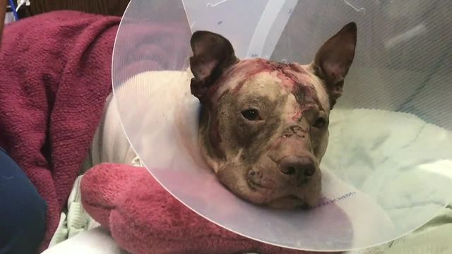Ollie the pit bull recovering after being stuffed in suitcase
