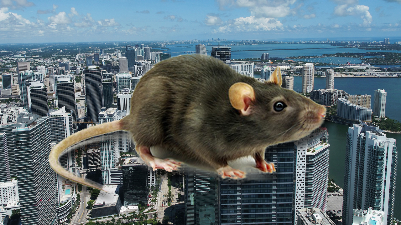 Oh Rats Miami Among Top Cities Infested By Roof Rats