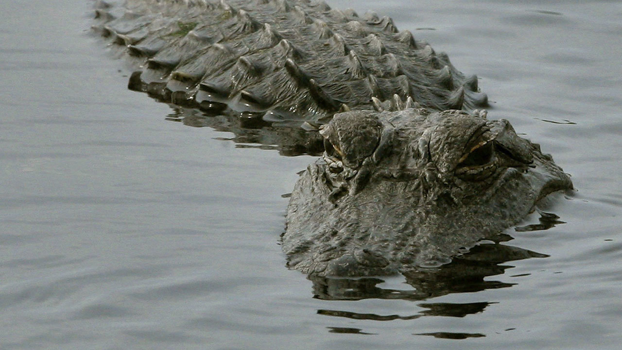 Man says alligator 'Wally' is emotional support animal