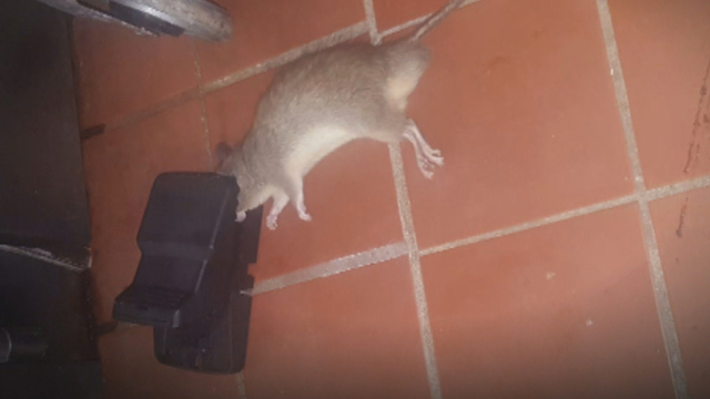 Dead rodent in trap at Temple Beth Moshe