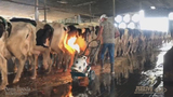 New video shows cows being speared, burned at another Florida dairy farm