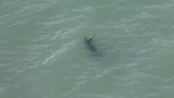 Ocean sunfish spotted swimming off Hollywood Beach