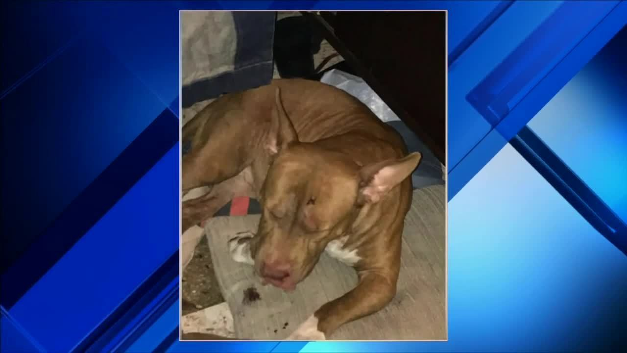 man seriously hurt after being mauled by pit bulls in lauderhill