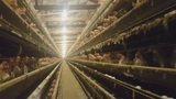 Video shows abuse of hens at farm that provides eggs to Walmart, Publix,&hellip&#x3b;