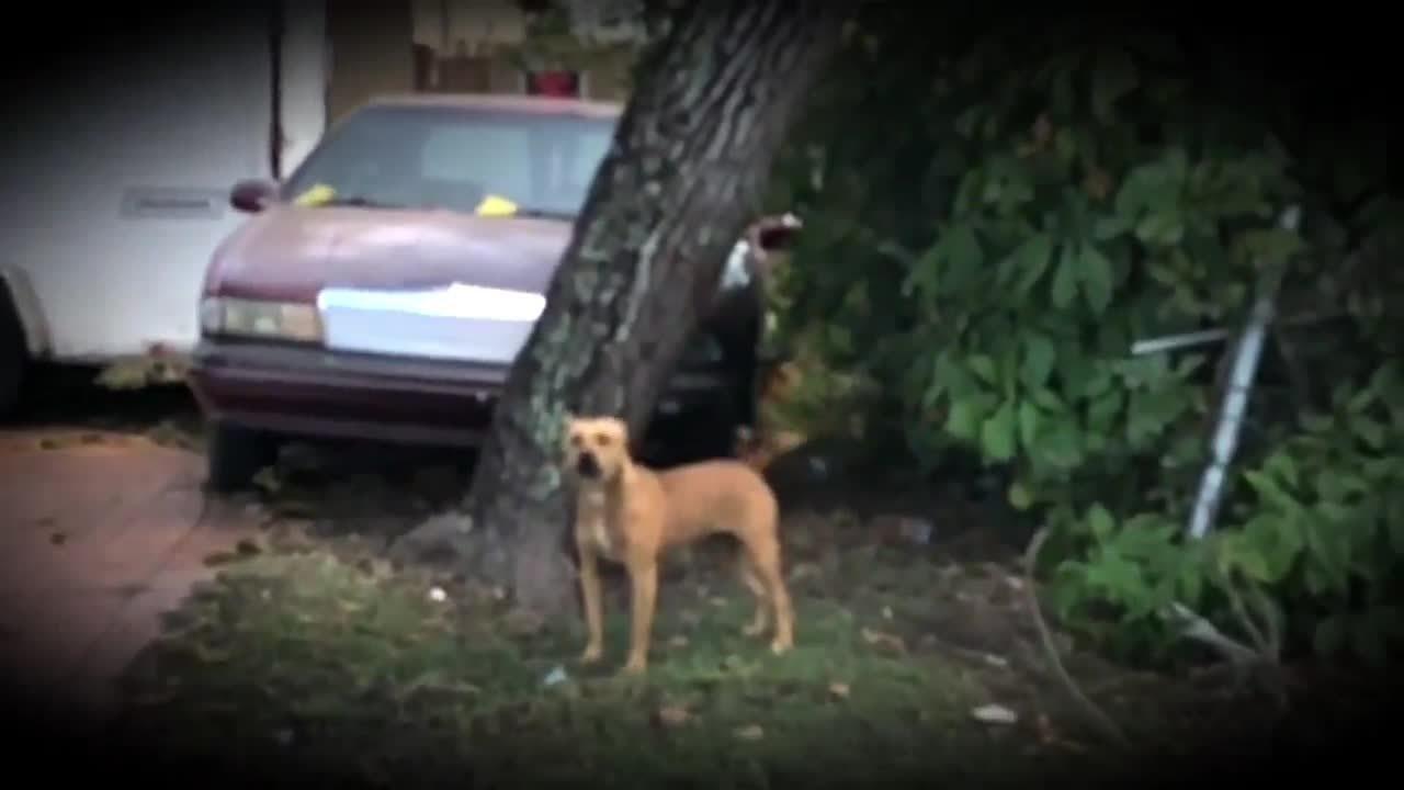 Vicious Dogs Terrorize Broward Neighborhood