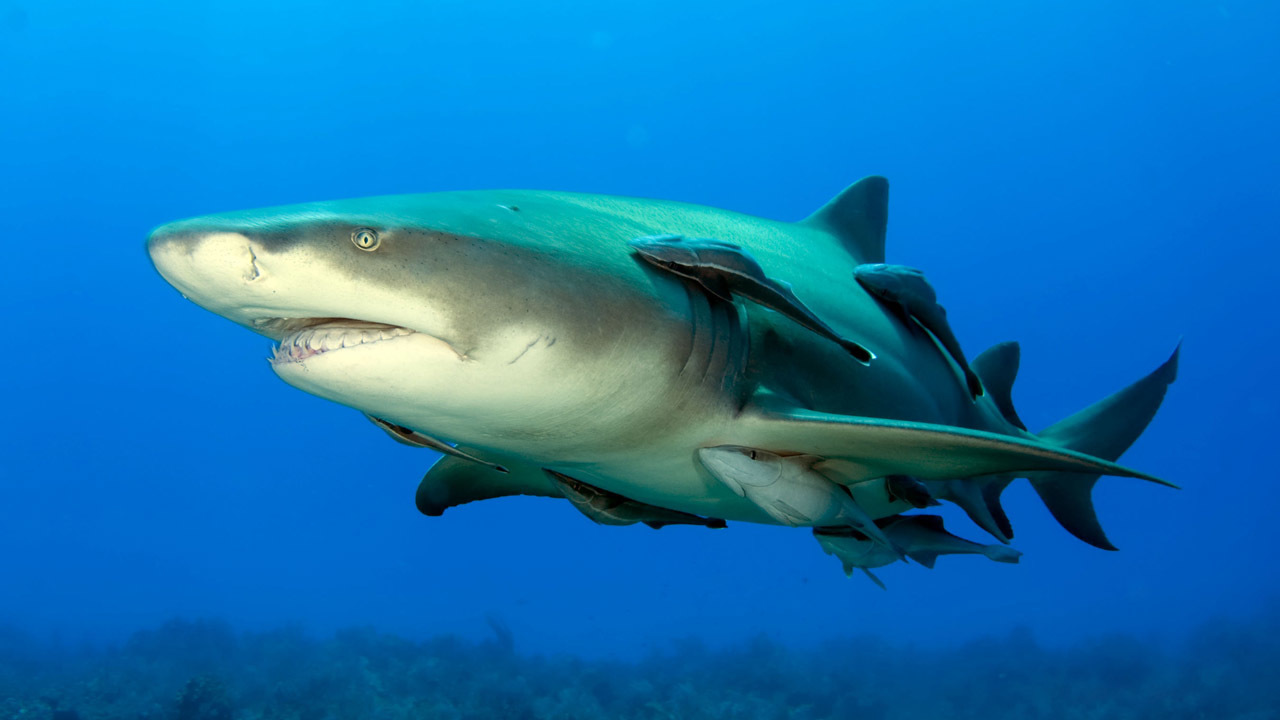 Rising water temperatures have sharks moving north away from