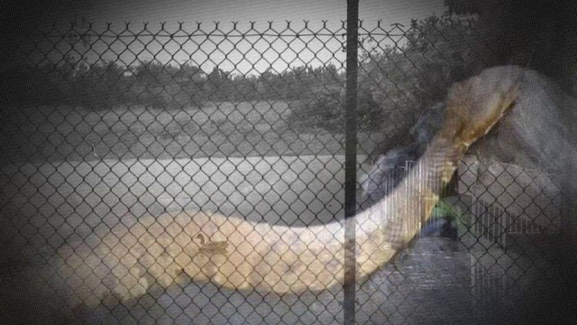 Video Thumbnail For Dangerous Snakes Have Residents On Edge In One Miramar Neighborhood