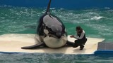 Miami Seaquarium unwavering in stance regarding Lolita the killer whale