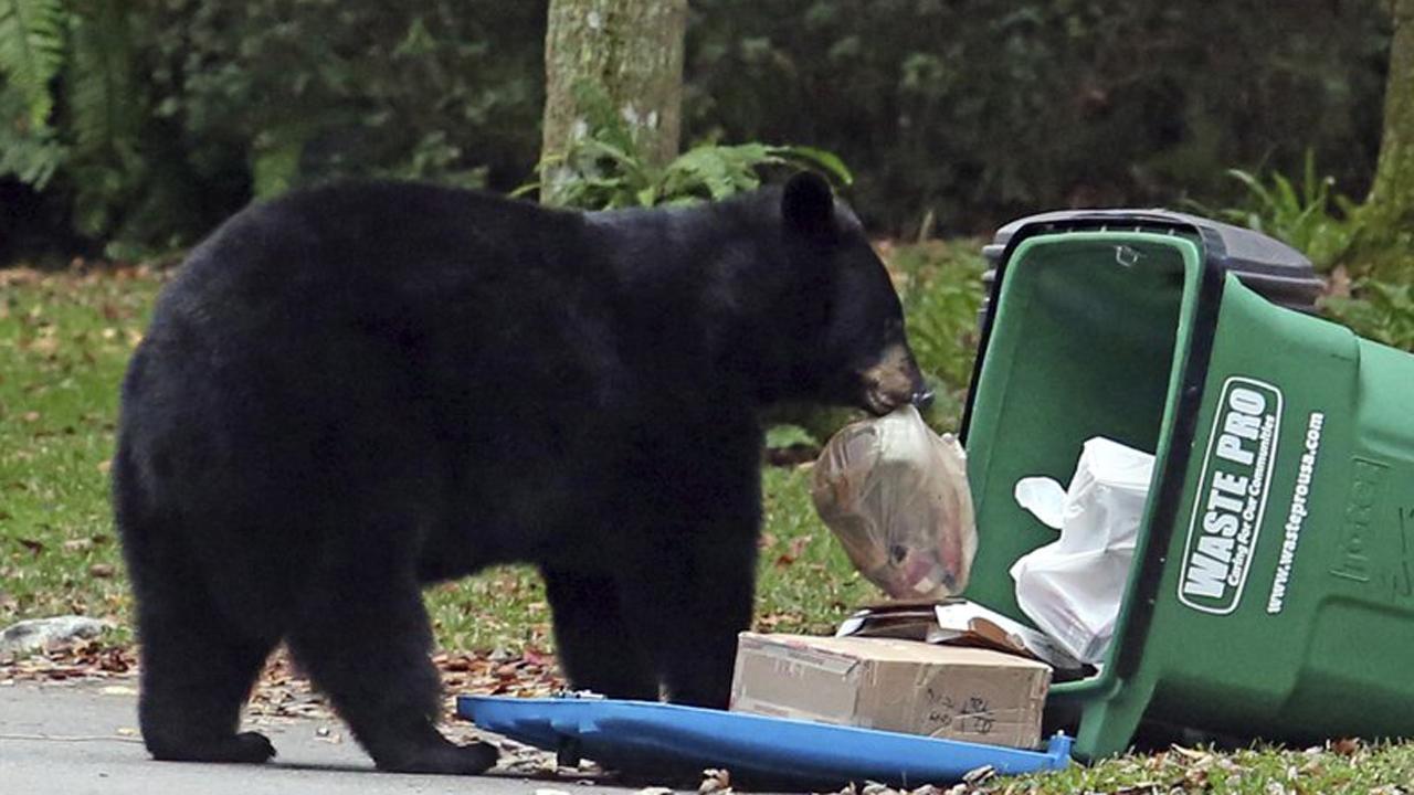 Black Car Orlando >> Nuisance bear deaths decline in Florida as 'bear-wise ...