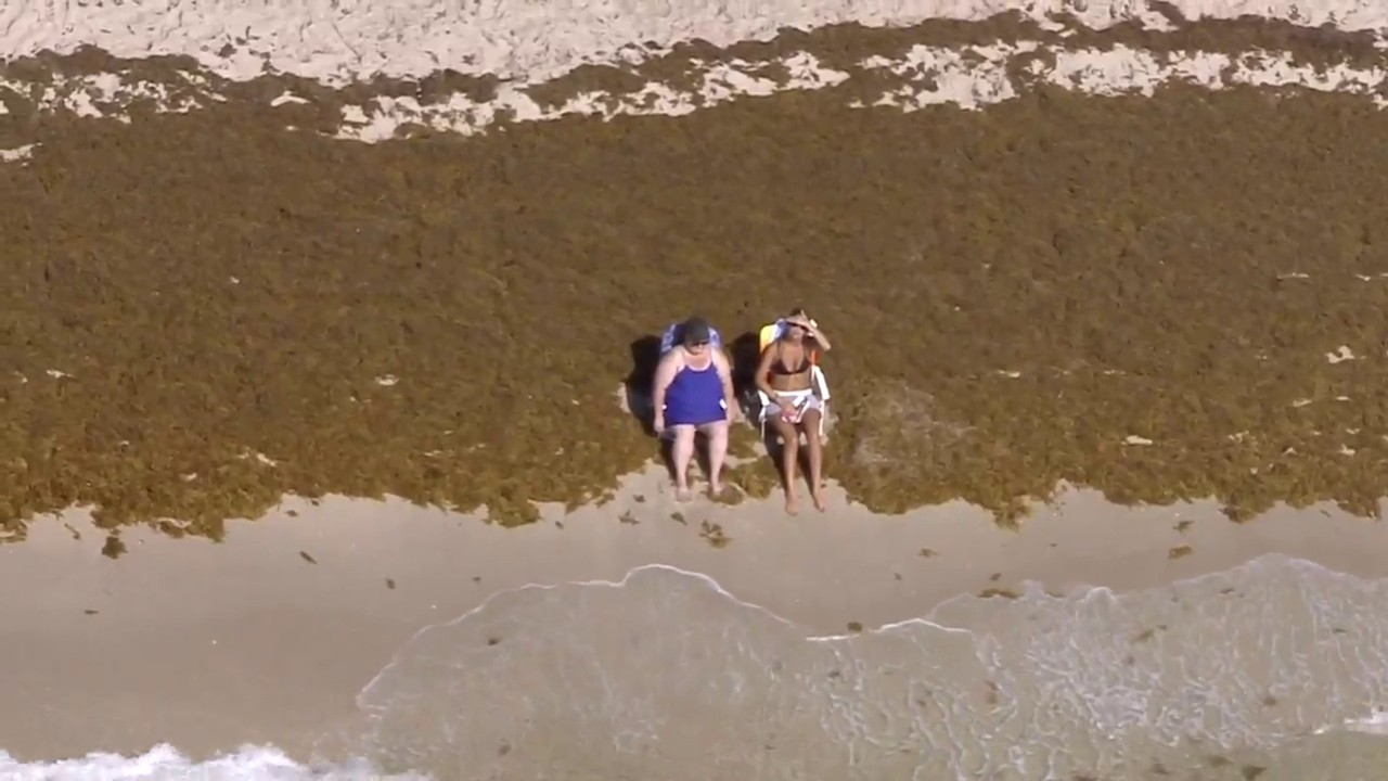 South Florida beaches see increase of sargassum