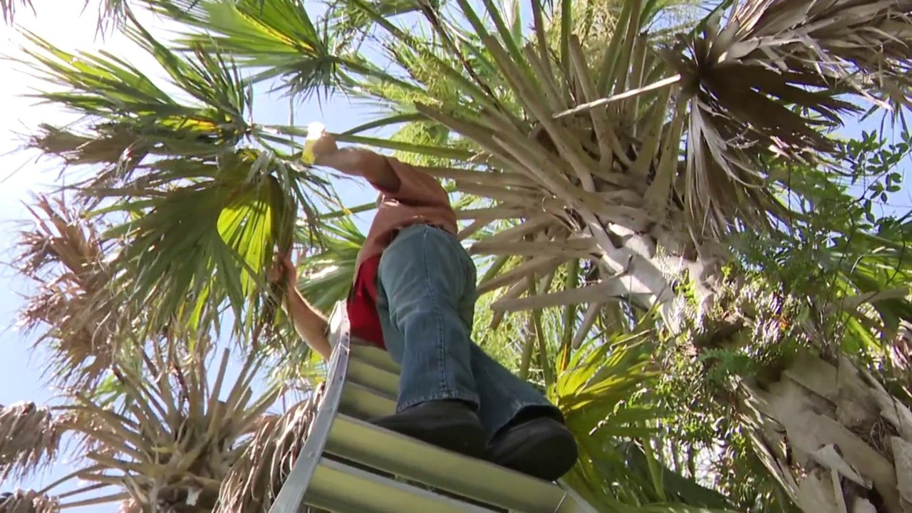 Native Palm Trees Under Attack In South Florida Researchers Say