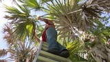 Native palm trees under attack, researchers say