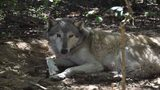 Florida animal preserve offers $800 reward to find wolf that escaped&hellip&#x3b;
