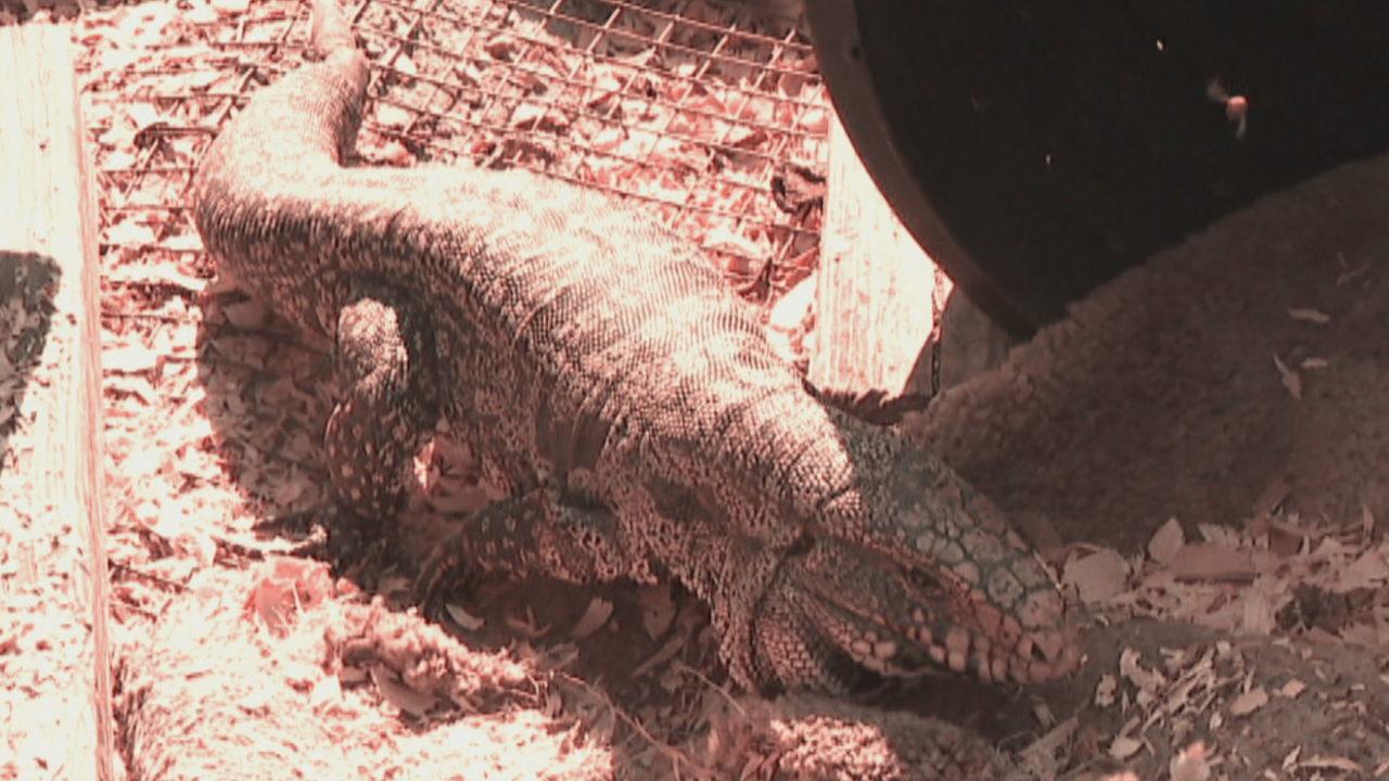 New invasive threat has South Florida wildlife on the run