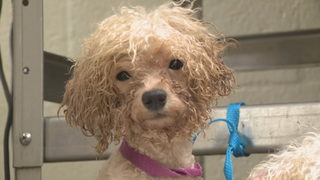 Rescued from hoarder's home, dozens of dogs get mutt makeovers