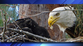 Bald eagle babies, family spotted in Pembroke Pines