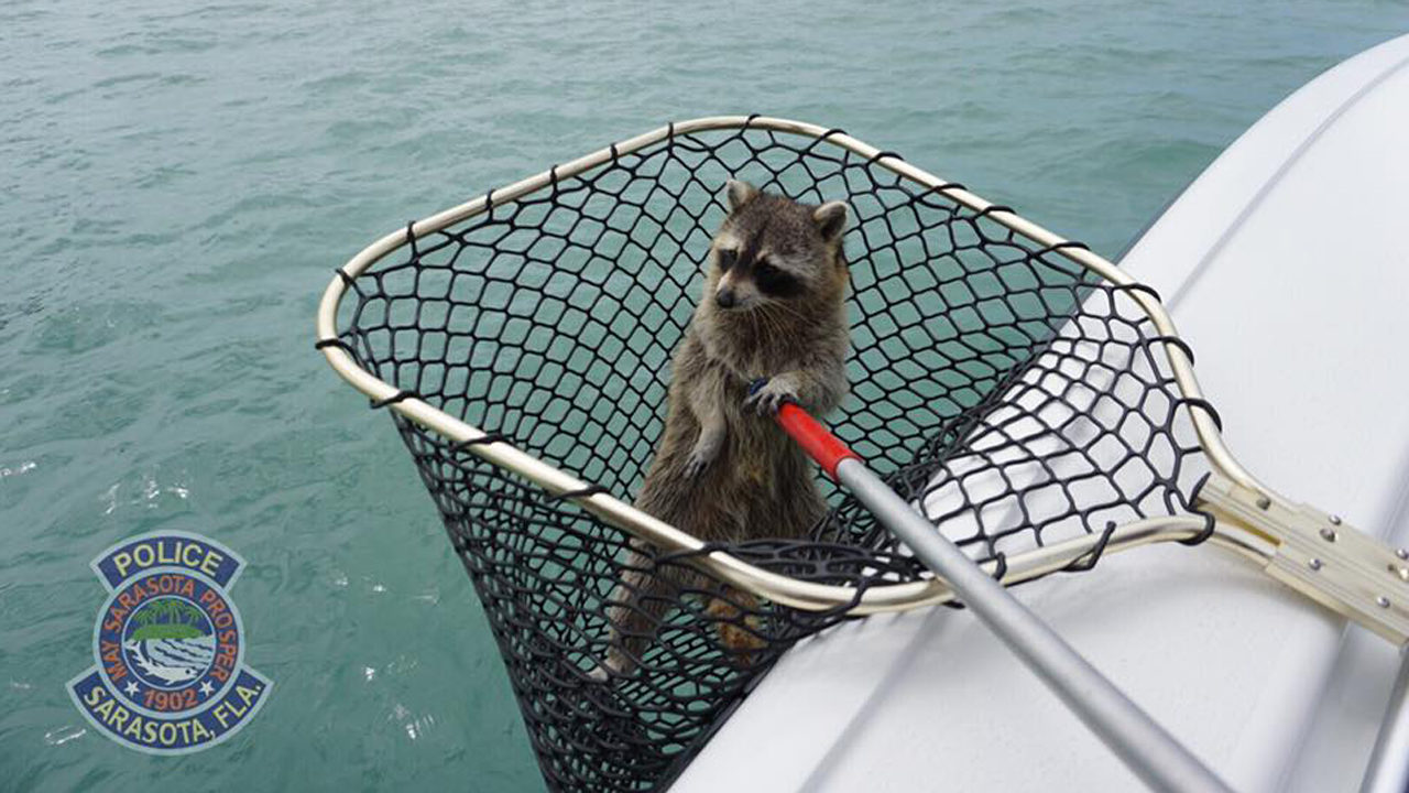 Raccoon gets rescued after getting marooned on channel marker